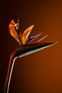 leonie-voets-fotograaf-mierlo-floralbeauty-strelitzia-fotomodel-fotoproject0108