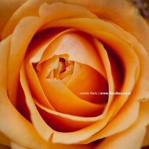 floralbeauty-imagingpeople-leonie-voets-rozen-03