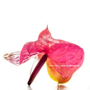 fotograaf-mierlo-floralbeauty-imagingpeople-leonie-voets-anthurium-01